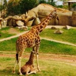 Giraffe mit Kind im Bioparc Valencia