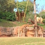 Giraffen im Bioparc Valencia